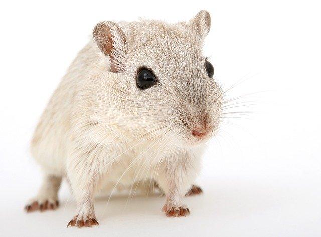 крыса photo