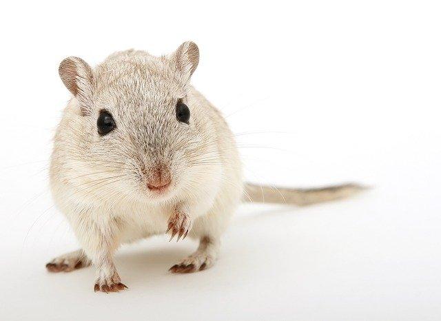 Привезли крысу домой…