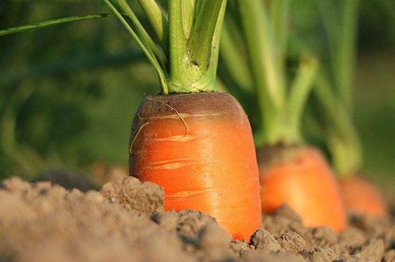 Пугачевская морковь на грядках из песка вырастет без полива