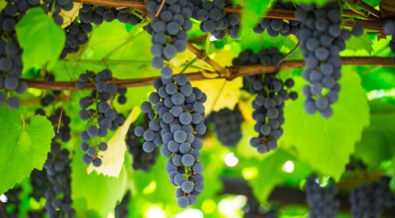 Виноград с новыми генами