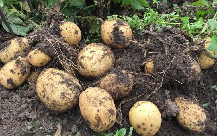 Пришла пора сажать картофель