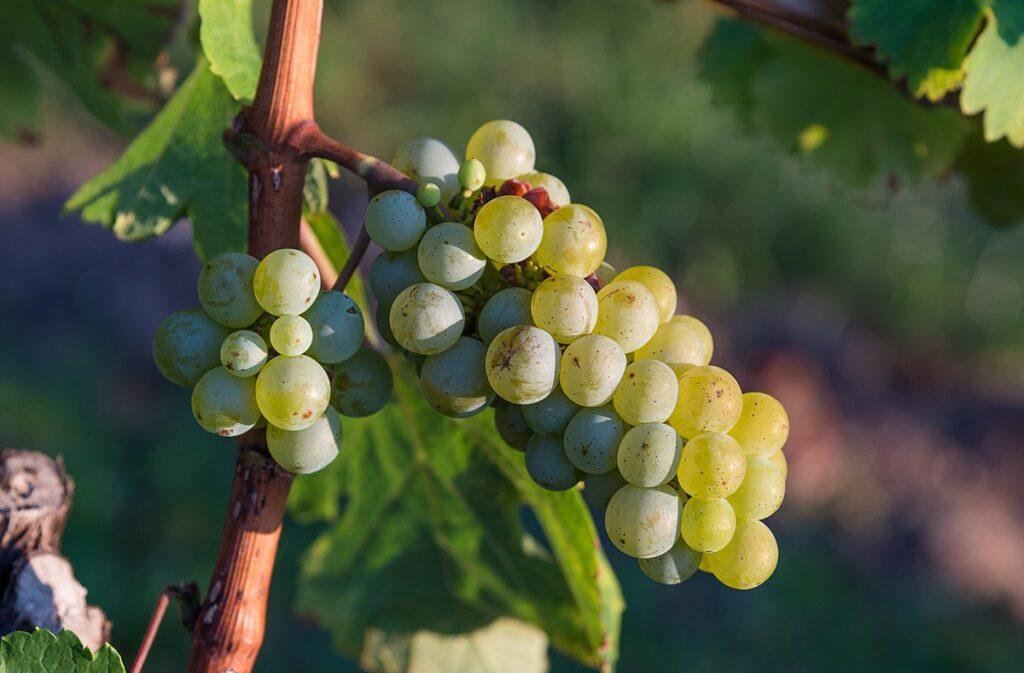 Виноград – главный сорняк